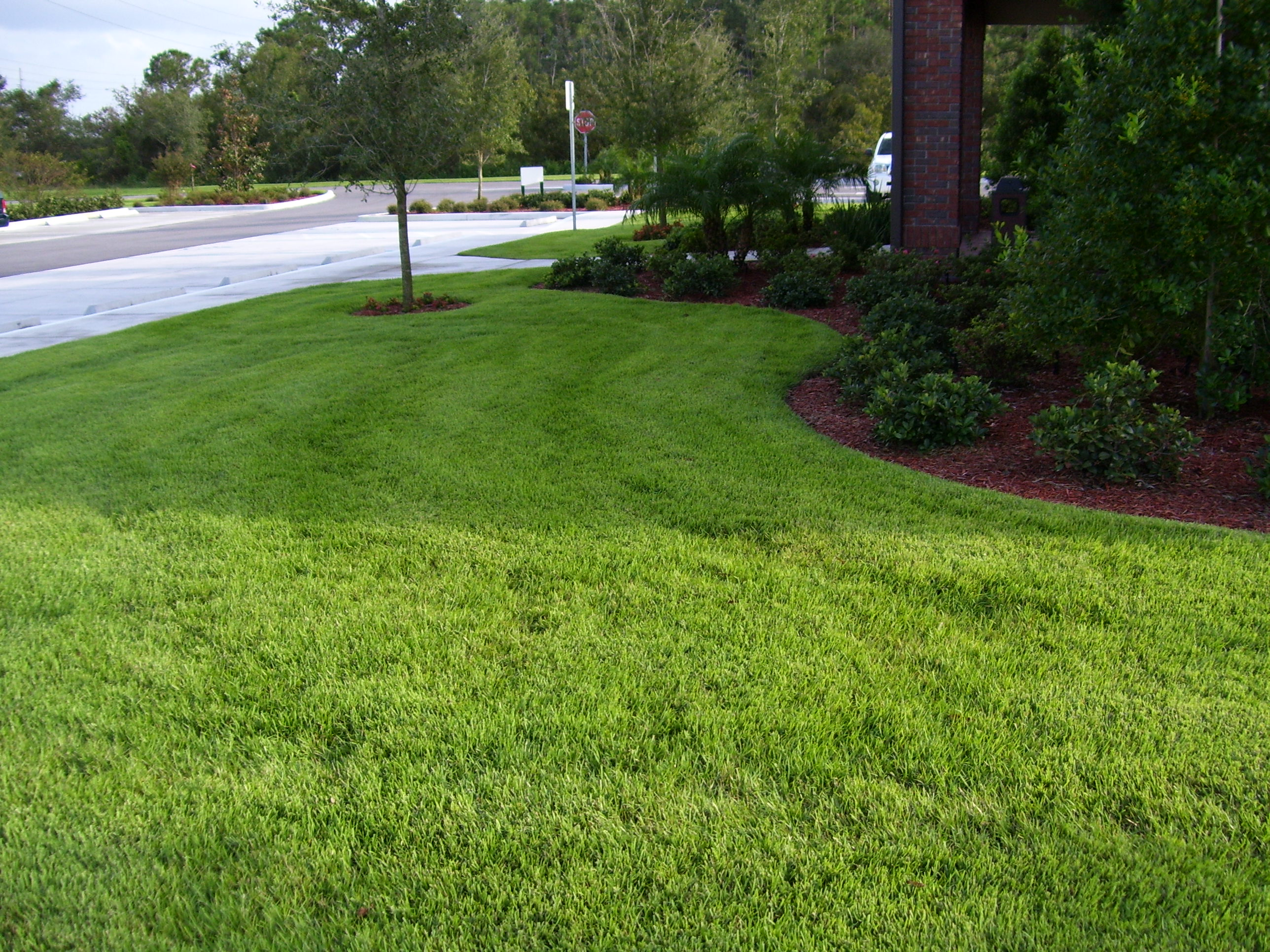 Jamur Zoysia Lawn And Landscape Grass