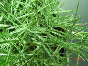 zoysiagrass-salinity